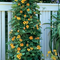 Caring For Black-eyed Susan Vine