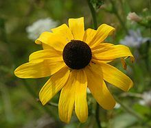 Caring For Black Eyed Susan
