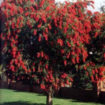 Choose a bottle brush tree for the garden