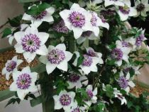 Caring for Clematis plants