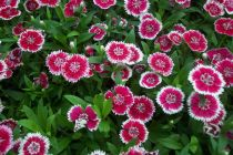 Care of the Dianthus plants