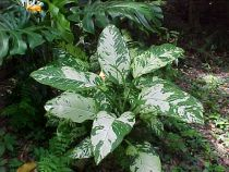 Why choose Dieffenbachia plant?