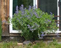 Vääriä indigo – tehtaan oman puutarhan