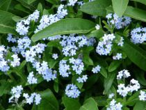 About The Forget-me-not