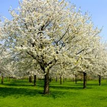 Diseases of the ornamental pear tree