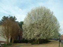 Huolehtimalla koriste päärynäpuu