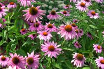 About The Pale Purple Coneflower
