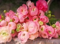 Caring about ranunculus plant