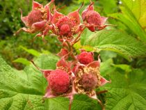 About The Thimbleberry Plant