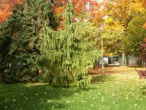 Evergreen weeping trees - types and tips
